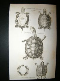 Shaw C1810 Antique Print. Cinerous, Galeated & Lettered Tortoise
